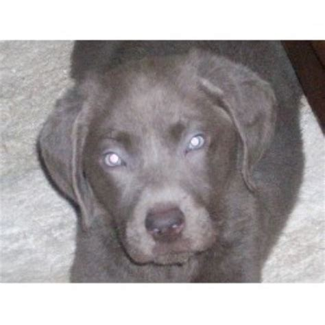 yorkie puppies for sale reno nv northern nevada silver labs labrador retriever breeder in reno nevada