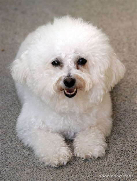 bichon puppy dogs bichon frise