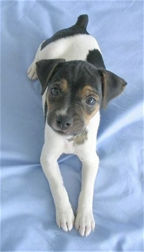Brazilian Terrier Dog Breed Information and Pictures