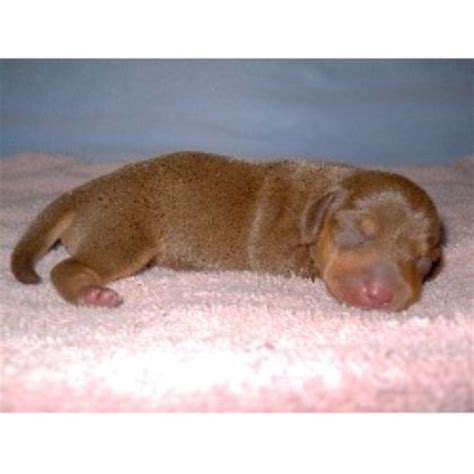 dachshund puppies for sale in ms dapple dachshund puppies for sale in mississippi breeds picture
