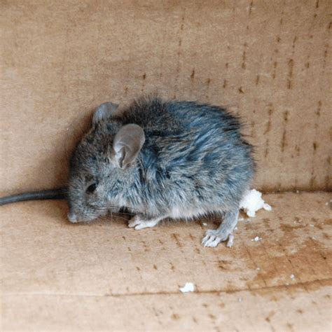 how to get rid of mice in your house how to get rid of mice how to get rid of stuff
