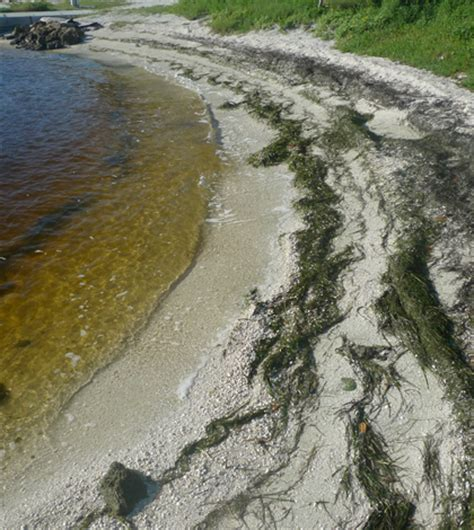 florida estuary water too fresh for seagrass after