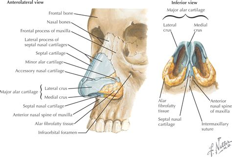 glands of the diagram diagram of lymph nodes near diagram of adrenal