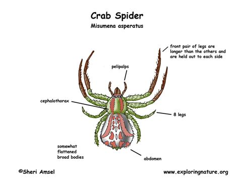 A Well Labelled Diagram Of A Spider