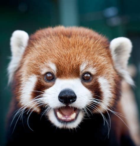read panda redpanda related keywords suggestions redpanda