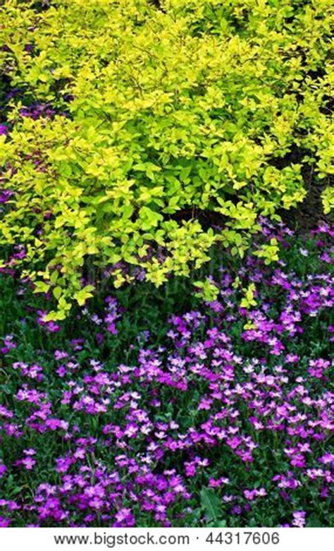 japanese spirea colorful low growing ornamental shrubs for the garden stock photo stock