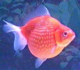 Bibit Ikan Koi Sidoarjo dienlaudra corner s ikan hias dan bibit ikan konsumsi
