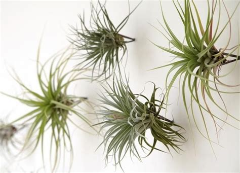 107 best images about air plants on pinterest air plant