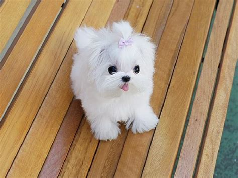 Miniature Maltese Puppies For Sale Uganda Mini Dogs