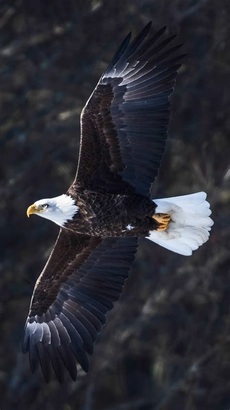 eagle mobile wallpaper gallery