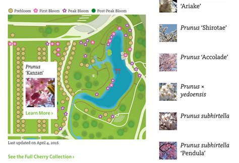 Ny Botanical Garden Directions Maps Botanic Garden Cherrywatch Tracks Bloom Of Cherry Blossoms Untapped Cities