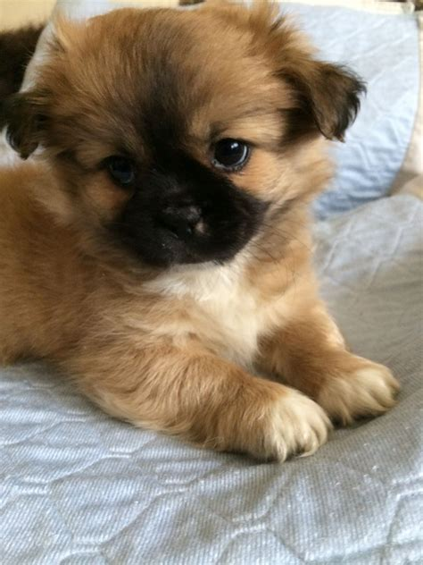 chihuahua and shih tzu puppies amazing teddy pup chihuahua x shih tzu southton hshire pets4homes