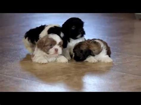 australian shepherd puppies for sale upstate ny shih tzu puppy funnydog tv