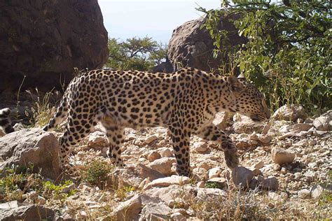 Siria Leopard how the lure of frankincense puts arabian leopards in