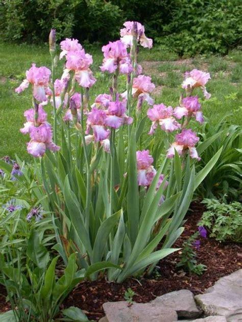 Hybrid Mba Program Site Umass Edu by Hybrid Bearded Iris Umass Amherst Greenhouse Crops And