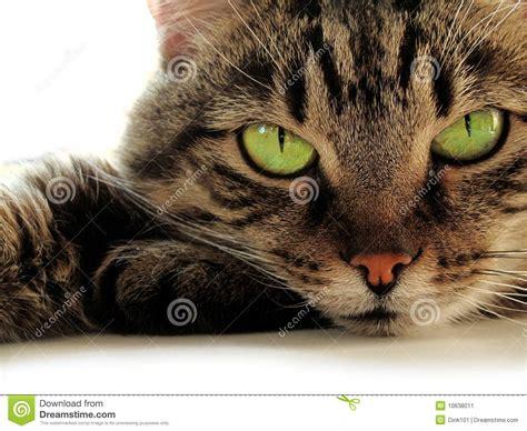 imagenes de ojos verdes de gatos gato de ojos verdes imagen de archivo imagen 10638011