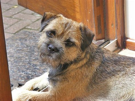 17 best images about border terrier on animals