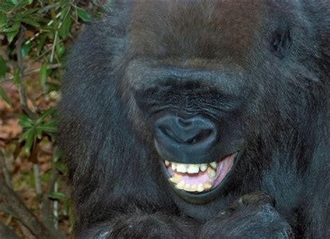 laughing gorilla: cgs11: galleries: digital photography