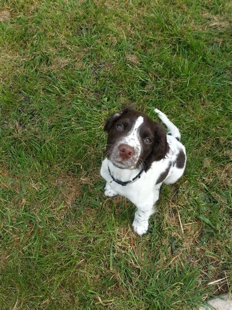 springer spaniel puppies michigan springer spaniel puppies for sale and at stud breeds picture