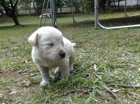 labradoodles puppies for sale perth for sale labradoodle puppies