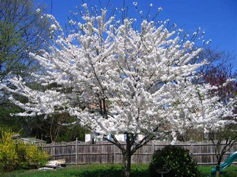 cherry tree yoshino prunus yedoenis yoshino flowering cherry cherry