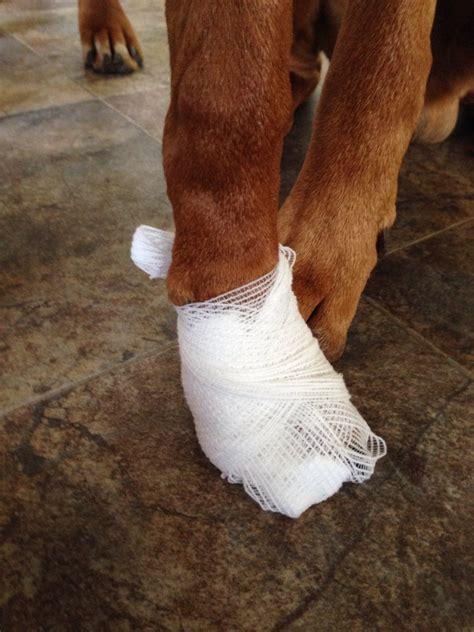 paw bandage keeping a paw dressing 2 safety