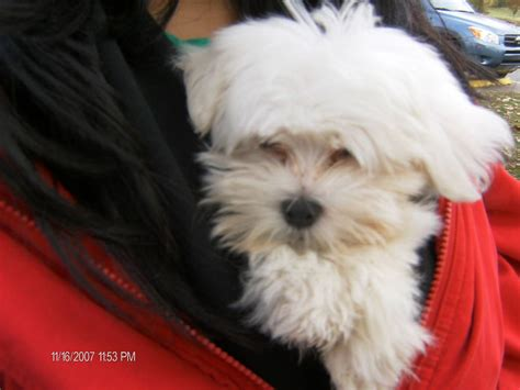 lifespan of maltese poodle maltese breed information puppies pictures