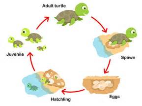 pics photos turtles life cycle pictures