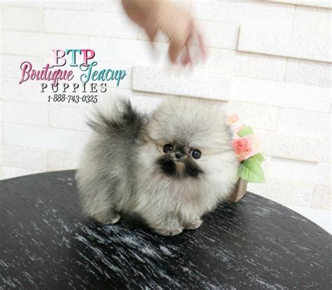 teacup wolf pomeranian adorable lil brody micro wolf pom sold to mx boutique teacup puppies