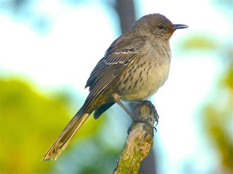 bahama mockingbird song rolling harbour abaco