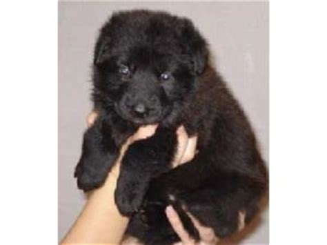 black german shepherd puppies for sale in ohio german shepherd puppies in ohio