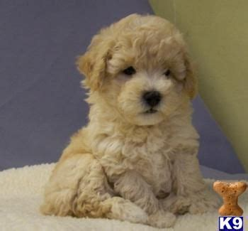 maltipoo puppies for sale ny maltipoo puppies for sale s wish list puppys for sale and