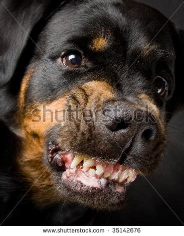 top 100 rottweiler names rottweiler names find rottweiler names just for this breed breeds picture