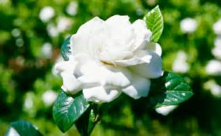 Backyard Landscaping Tips Growing Gardenias Burke S Backyard