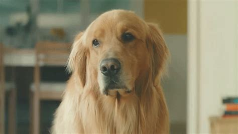 golden retriever commercial touching japanese commercial tells story of poor golden retriever struggling to