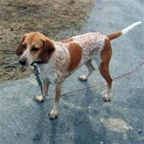 redtick coonhound puppies facts about the redtick coonhound breed