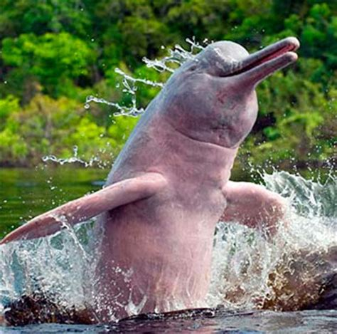 pink amazon river dolphin facts, habitat, diet, life cycle
