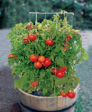 wine barrel planters are for growing tomatoes you