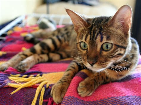 Cat On Rugs by Bengal Cat On Rug Photo And Wallpaper Beautiful Bengal