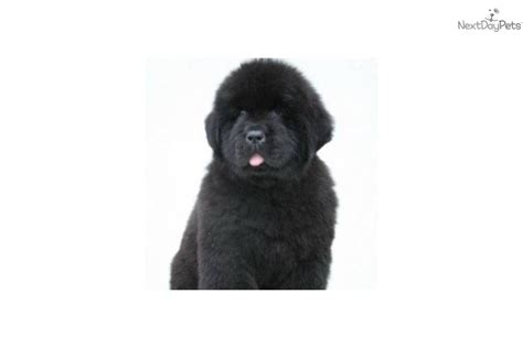 newfoundland puppy price newfoundland puppy for sale near buffalo new york 3a1578a6 d9a1
