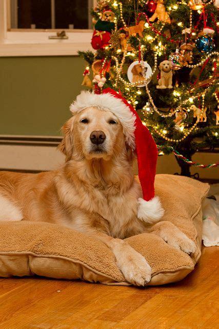 golden retriever heavy panting 561 best pets images on