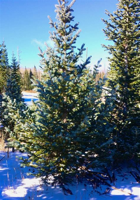 cut christmas tree utah this is what you need to to go the tree to cut cedar city news