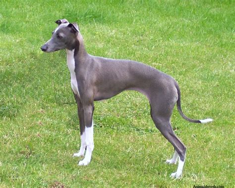breed information italian greyhound wallpapers pictures breed information models picture