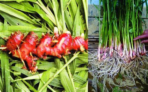 tanaman jahe merah red ginger bibitbungacom