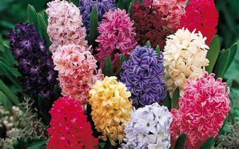 significato dei fiori giacinto significato giacinto nel linguaggio dei fiori