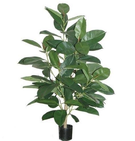 Coastal Home Interiors rubber plant 4 ft types of plants