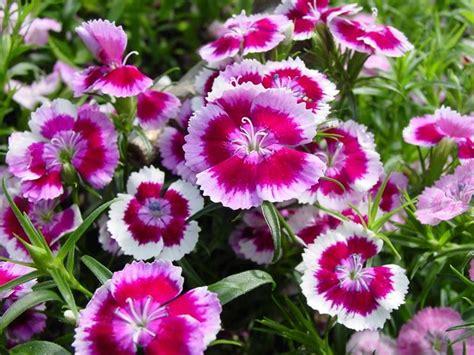 fiori petunie la petunia piante annuali coltivazione petunie