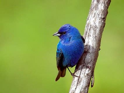 how to attract indigo buntings to your backyard indigo bunting identification all about birds cornell