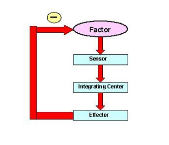 what is negative feedback loop of blood pressure? | new
