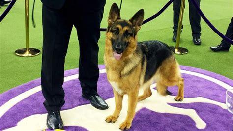 rumor german shepherd rumor has it german shepherd named best in show by
